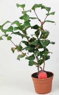 Camellia japonica rood 'Dr King' JONG + 10 KNOP