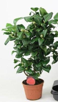 Camellia japonica rood 'Dr King' + 25 KNOP