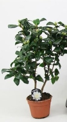 Camellia japonica wit 'Brushfield yellow' +15 KNOP