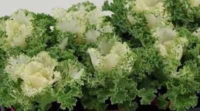 Sierkool Brassica gekruld wit