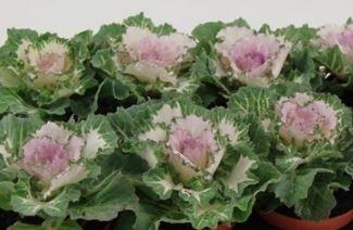 Sierkool Brassica glad roze