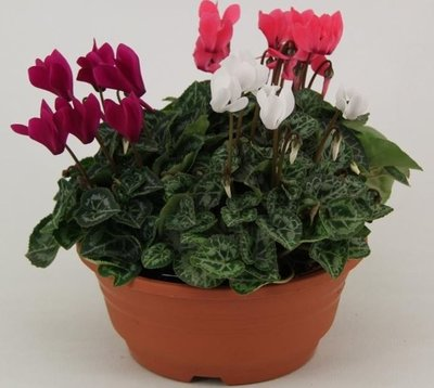 Cyclamen mix in schaal