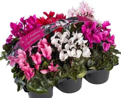 Cyclamen mix 6-pack