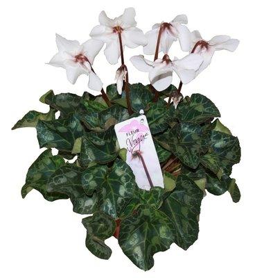Cyclaam Fleur en Vogue wit