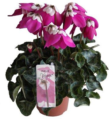 Cyclaam Fleur en Vogue paars