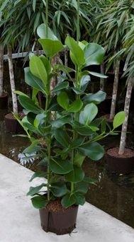 Clusia Rosea 4 planten per pot (Hydroplant)