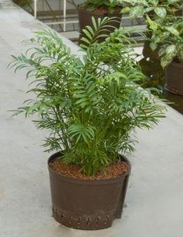Chamaedorea Elegans toef (Hydroplant)