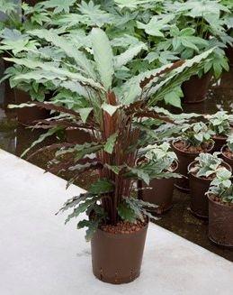 Calathea Rufibarba (Hydroplant)