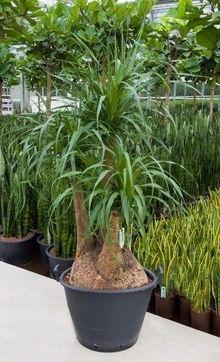 Beaucarnea Recurvata met div. vertakkingen (Hydroplant)