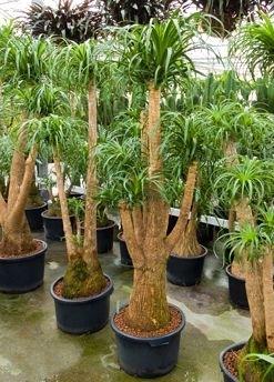 Beaucarnea Recurvata met vertakkingen (Hydroplant)