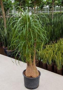 Beaucarnea Recurvata Vertakt (Hydroplant..)