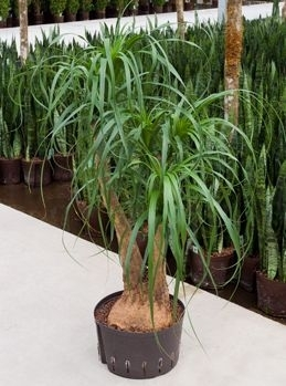 Beaucarnea Recurvata vertakt (Hydroplant.)