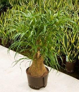 Beaucarnea Recurvata Vertakt (Hydroplant)