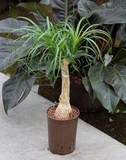 Beaucarnea Recurvata stam (Hydroplant)