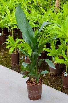 Aspidistra Elatior toef (Hydroplant)
