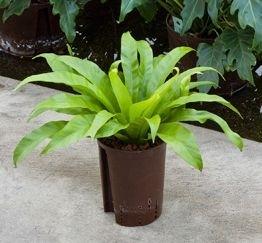 Asplenium Antiquum (Hydroplant)