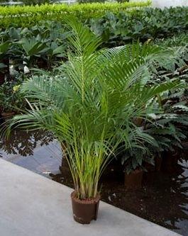 Areca toef (Hydroplant.)