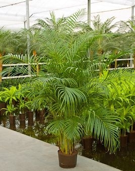 Areca toef (Hydroplant)