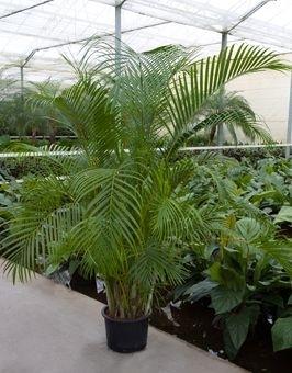 Areca 200 cm (Hydroplant)