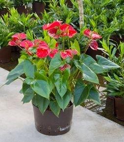 Anthurium Sierra rood ( Hydroplant )