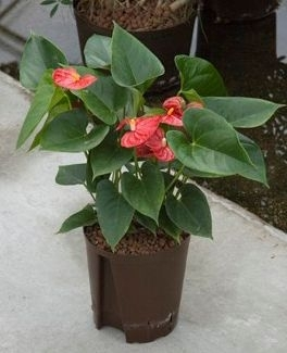 Anthurium Sierra rood (Hydroplant)