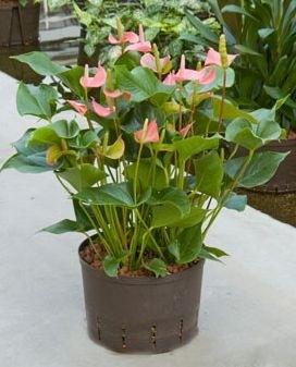 Anthurium Pink Champion roze ( Hydroplant )