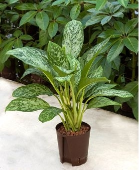 Aglaonema Green light (Hydroplant)