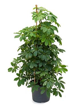 Grote kamerplanten home meets nature specialist in for Grote kamerplanten