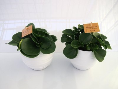 2x Peperomia Obtusifolia in Pot Gracka white.