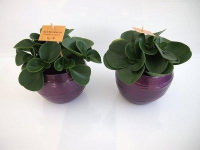 2x Peperomia Obtusifolia in Pot Gracka deep purple