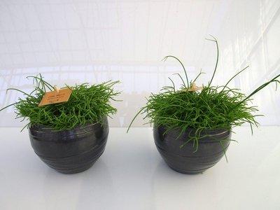 2x Rhipsalis Cassuta in Pot Gracka platinum.