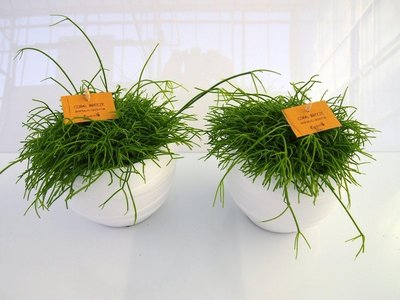 2x Rhipsalis Cassuta in Pot Gracka white