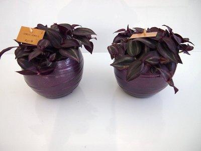 2x Tradescantia paars in Pot Gracka deep purple