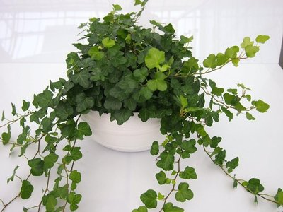 Hedera groen (3 planten) in schaal Gracka pure white.