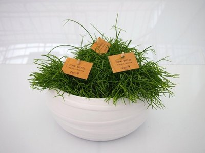 Rhipsalis Cassuta (3 planten) in schaal Gracka pure white.