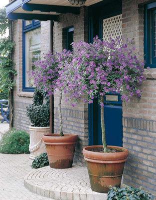 Solanum Rantoinetti licht blauw