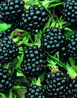 Rubus Thornless zwarte braam