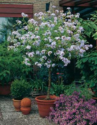 Plumbago blauw (Loodplant)