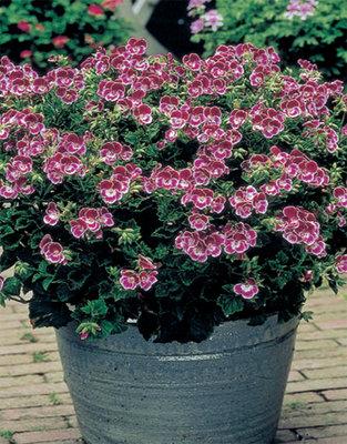 Pelargonium Pansy (Citroengeranium)