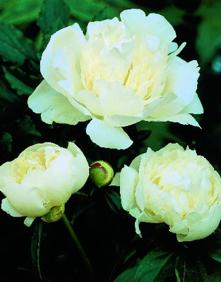 Paeonia wit