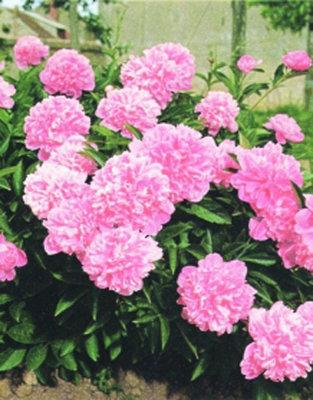 Paeonia roze