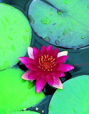 Nymphaea Laydekeri (Rood-roze waterlelie)