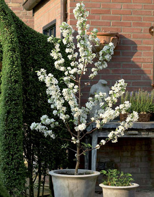 Malus Golden Delicious (Appelboom)