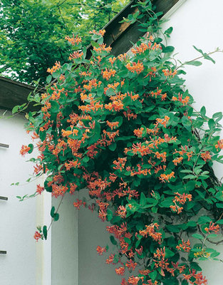 Lonicera Dropmore Scarlet (rood-oranje)