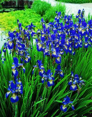 Iris blauw