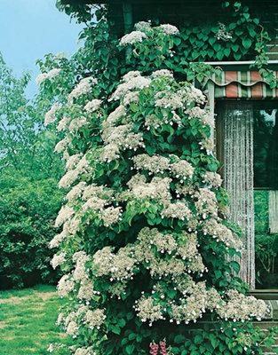 Hydrangea Petiolaris wit (Klim Hortensia)