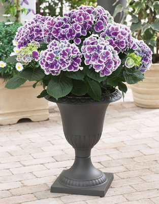 Hydrangea bicolor Tivoli (Hortensia)