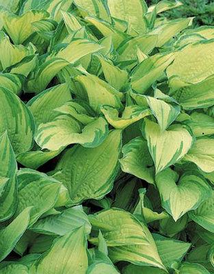 Hosta groen geel