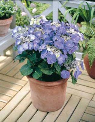 Hortensia Teller blauw