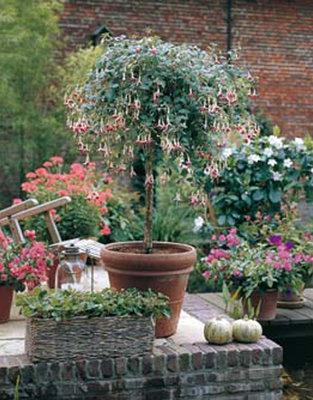 Fuchsia Wassernymph (wit - rood)